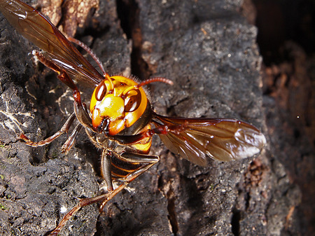 スズメバチ画像