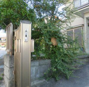 庭木のコガタスズメバチ